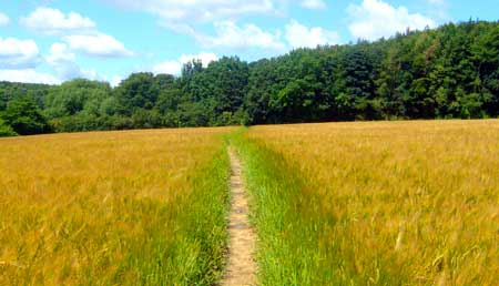 path-through-a-cornfield