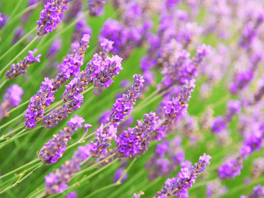 smell the purple flowers